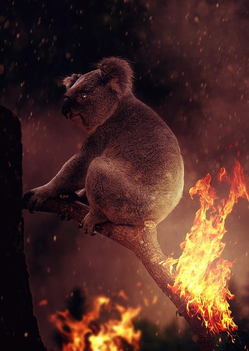 Staatlicher Schutz für Koalas in Australien